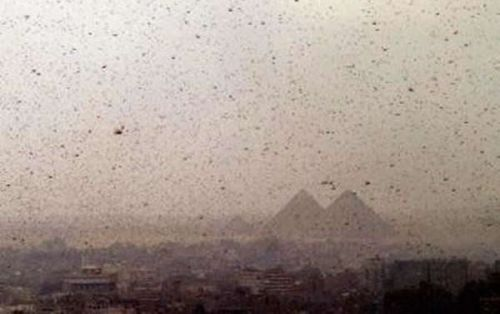 Swarm of Biblical proportions surprises local authorities and blankets the ground near Giza