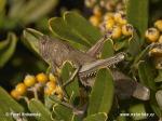egyptian-locust-0654