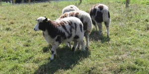 jacob-sheep-1-cropped