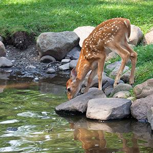 deer-by-pond